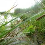 камыши озеро Ольховое урочище Обухи близ села Вятское Каракулинский район