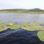 кубышка озеро Ольховое урочище Обухи близ села Вятское Каракулинский район