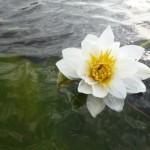 кувшинка озеро Ольховое близ села Вятское Каракулинский район