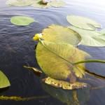 водная растительность озеро Ольховое близ села Вятское Каракулинский район