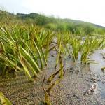 заросли болотной травы озера Ольховое урочище Обухи