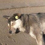 Бездомные собаки с желтыми бирками на правом ухе